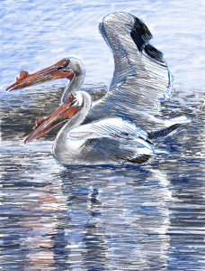 Pelicans at Drakes Bay